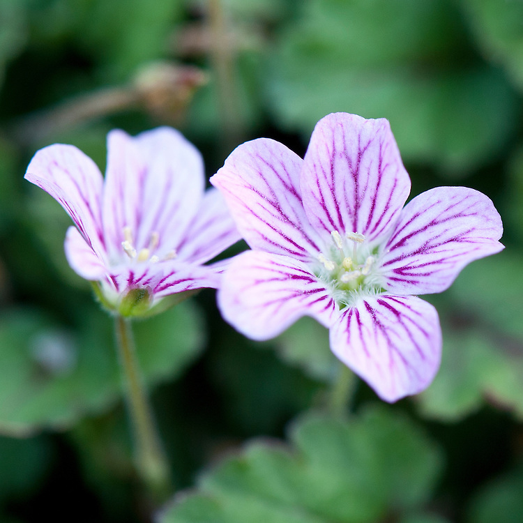 Erodium reichardii 'Rosea', glasshouse, mid June. Other names include Erodium chamaedryoides 'Rosea', Stork's bill, Heron's bill, Alpine geranium, and Rock geranium. Native to the Mediterranean.