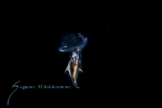 Pteropod, Diacria trispinosa, Black Water diving over Gulfstream Current; Florida Atlantic Diving; Plankton; SE Florida Atlantic Ocean off West; Palm Beach; larval fish; marine life; pelagic creatures; pelagic larval marine life; vertical migration marine creatures
