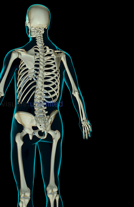 A posterolateral view (left side) of the bones of the upper body. The surface anatomy of the body is semi-transparent and tinted green. Royalty Free