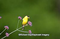01640-145.18 American Goldfinch (Carduelis tristis) male on Brazilian Verbena (Verbena bonariensis)  Marion Co. IL