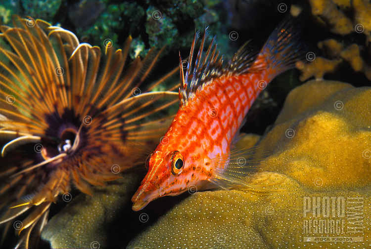 The Longnose Hawkfish (Oxycirrhites typus)is a unique Hawaiian reef fish. Typically found in deep water.