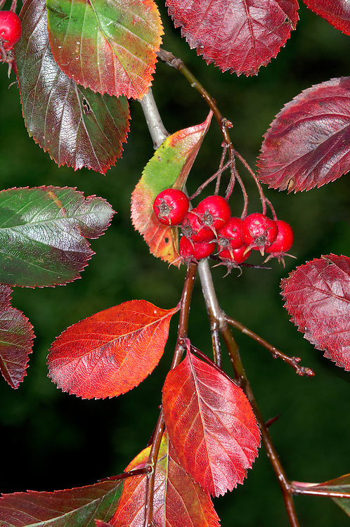 Broadleaf Cockspurthorn Crataegus persimilis (Rosaceae) HEIGHT to 8m <br /> A small, spreading tree with a short bole and a rounded crown. BARK Scaly brown, sometimes with spiral ridges. BRANCHES The twigs and 2cm-long stiff thorns are a deep, glossy purple-brown. LEAVES Oval and toothed, smooth and shiny; they turn from glossy green, through yellow, orange and copper to a deep red by the end of autumn before they finally fall. REPRODUCTIVE PARTS Flowers are white and borne in clusters; fruits are rounded and red, up to 1.5cm long. COMMENTS A North American species, popularly planted here on roadsides and in gardens, typically as the cultivar 'Prunifolia'; it also makes a good stockproof hedge.