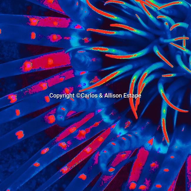 abstract, anemone, Florida Keys