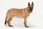 Belgian Shepherd (Malinois) Dog, Standing, Studio, White Background