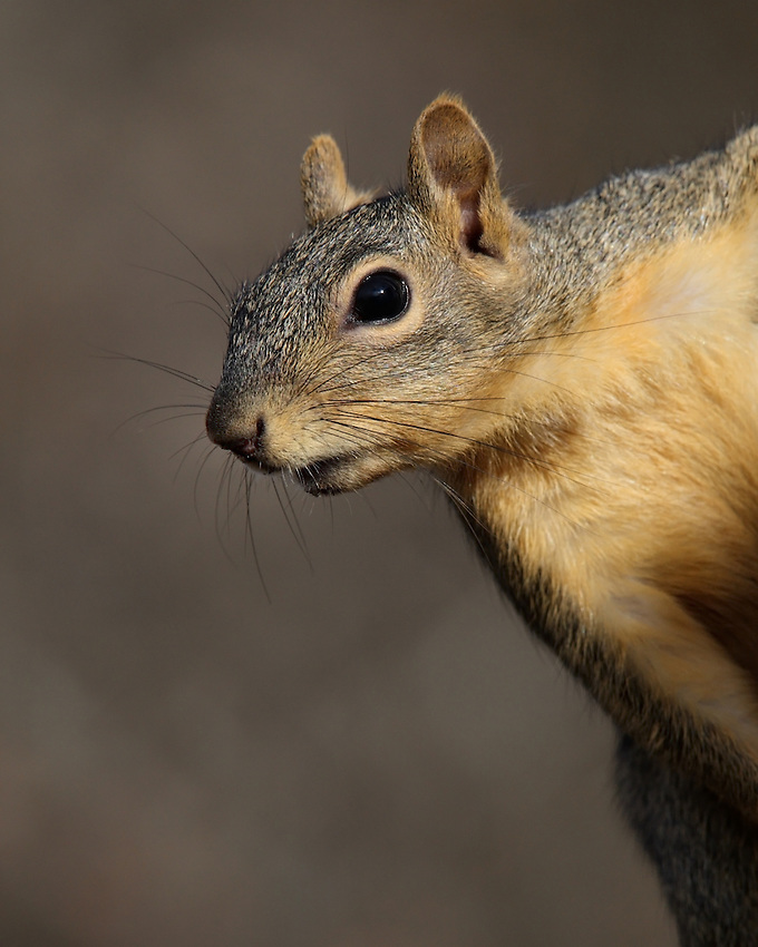 Fox Squirrel, one of three tree-dwelling species of squirrels that occur in Texas.