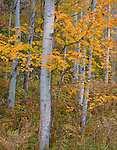 Hiawatha National Forest, MI:  Birch & maple forest in fall color