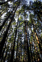 AJ3662, Olympic National Park, forest, tree, Olympic Peninsula, Washington, Looking up at the tall trees in Olympic National Park in the state of Washington.