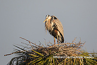 00684-05111 Great Blue Heron (Ardea herodias) at nest on palm tree.  Viera Wetlands Brevard County FL