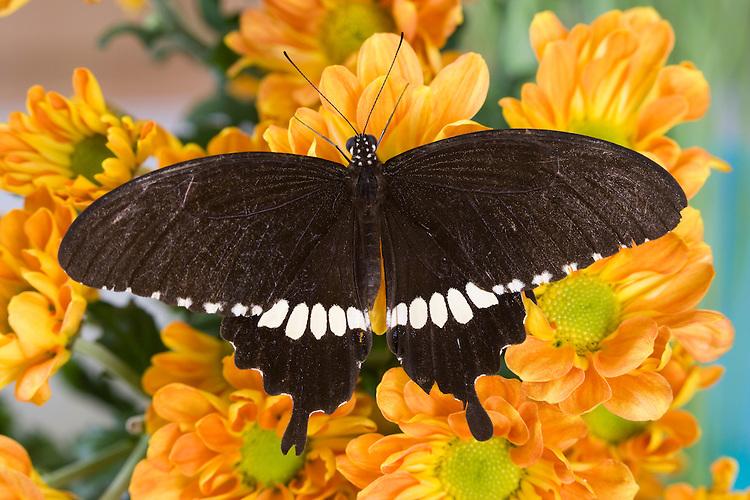 SE Asia, Thailand, Nam Nao NP. The  Common Mormon (Papilio polytes romulus).