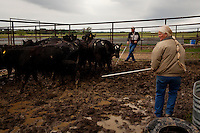 Wellsville, Kansas, May 28, 2011 -  Fourth generation family farmer Robin Dunn (right) works with friend Delbert Baithaupt to load some of her cattle to transport back to a pasture on her uncle's land in Baldwin. The cattle escaped earlier in the week during the heavy storms and she was forced to move them into a pen next to her house for the week. ..Dunn bought her great grandparents homestead from her father in 1993, and today grows soybeans, corn, sorghum and hay, and maintains a small herd of Black Angus cattle and eight horses which she uses to for wagon and stage coach rides.  According to the most recent Department of Agriculture data, there are more than 306,000 farms run primarily by women in 2007, representing about 14 percent out of the 3.3 million American farms.  That's up from 237,819 or 11 percent in 2002, and a big increase from the 1980s when about five percent of U.S. farms were operated by women.Dunn has branched out from her farming business, using her century-old dairy barn to host 25 to 30 weddings and other events a year. She also attracts tourists for farm tours and carriage rides, and holds sessions with school children to teach them about faming.