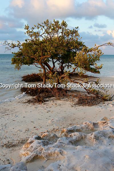 Black Mangrove, Avicennia germinans, at low tide revealing pneumatophore roots, Florida Keys National Marine Sanctuary. Anne's Beach, Islamorada, Florida Keys