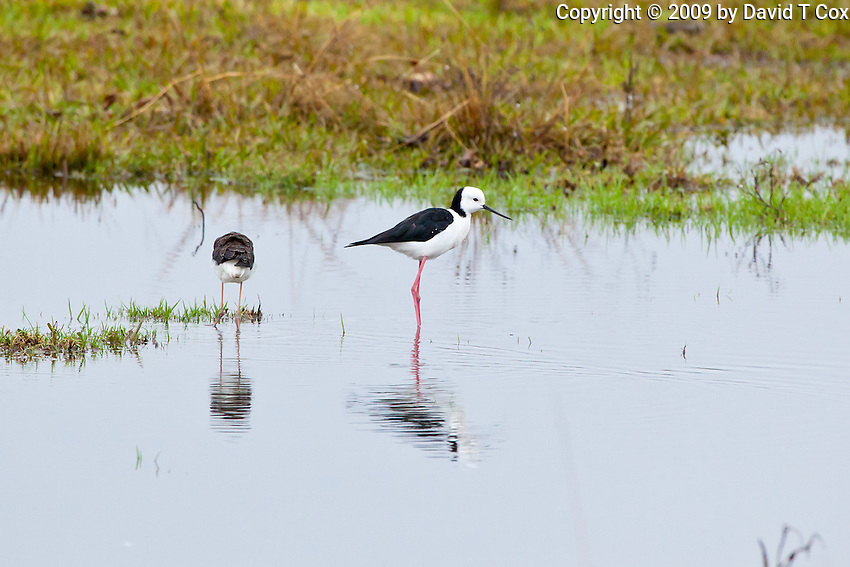 Black-Winged Stilt, Yuragir NP, NSW, Australia
