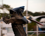 Pelicans are not very attractive birds in flight, even in their best mating plumage.  Tarpon Springs, Florida, USA.