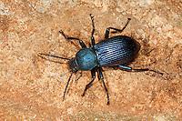 Schwarzkäfer, Helops rossii, Helops rossius, darkling beetle, Schwarzkäfer, Dunkelkäfer, Tenebrionidae, darkling beetles, flour beetles, mealworm beetles