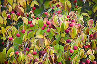 Red Cornus kousa dogwood berries on tree in autumn at Quarryhill Botanical Garden