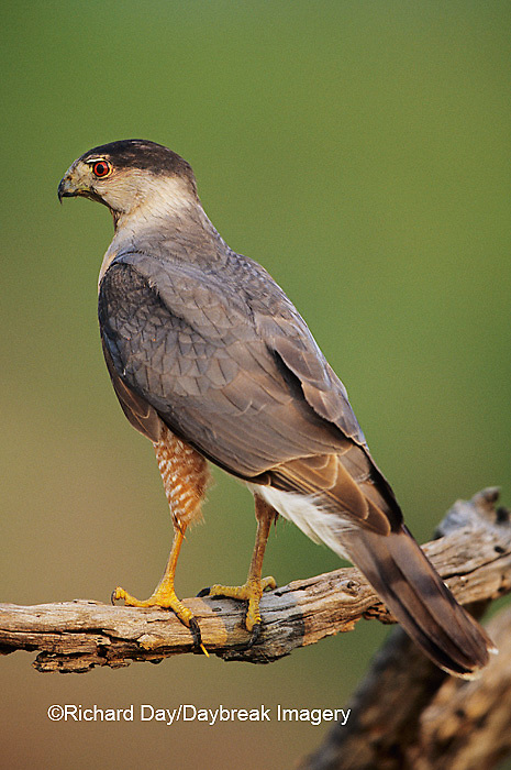 00787-00412 Sharp-shinned Hawk (Accipiter striatus) Starr Co.  TX