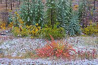 Snow and fall colors in the understory of an aspen forest. Sawback Range in the Bow Valley.<br />Banff National Park<br />Alberta<br />Canada