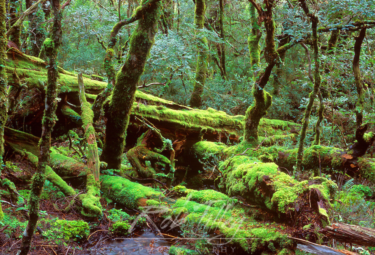 Rainforest, Cradle Mt. & Lake St. Clair NP, Tasmania, Australia