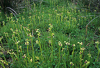 Bumblebee Orchid, Ophrys bombyliflora, blooming in habitat, Samos, Greek Island, Greece, April 1994