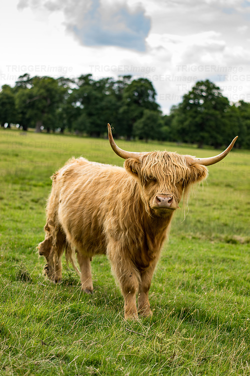 Shaggy highland cattle in a field at Helmingham Hall in Suffolk England