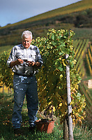 Europe/France/Alsace/68/Haut-Rhin/Turkheim : Mr Zind Humbrecht vendange le cépage pinot gris [Non destiné à un usage publicitaire - Not intended for an advertising use]