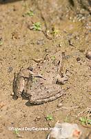 02434-002.17 Cricket Frog (Acris crepitans) in wetland, Ballard Nature Center, Effingham Co.  IL