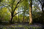 Sunlight filters through trees illuminating bluebells