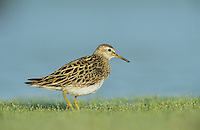 Pectoral Sandpiper, Calidris melanotos,adult, Welder Wildlife Refuge, Sinton, Texas, USA, June 2005