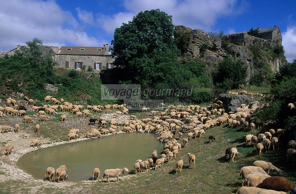 Europe/France/Midi-Pyrénées/12/Aveyron/La Couvertoirade : Cité templière du Larzac - Troupeau de brebis se désaltérant à la mare de Lavogne