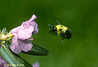 BU38-022z  Bumblebee - flying to flower - Bombus perplexus