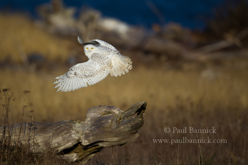 A Snowy Owl uses deep wing beats to take flight from the ground and launch into a hunt.