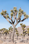 Joshua Tree National Park, California; Joshua Trees (Yucca brevifolia), mature, within the park