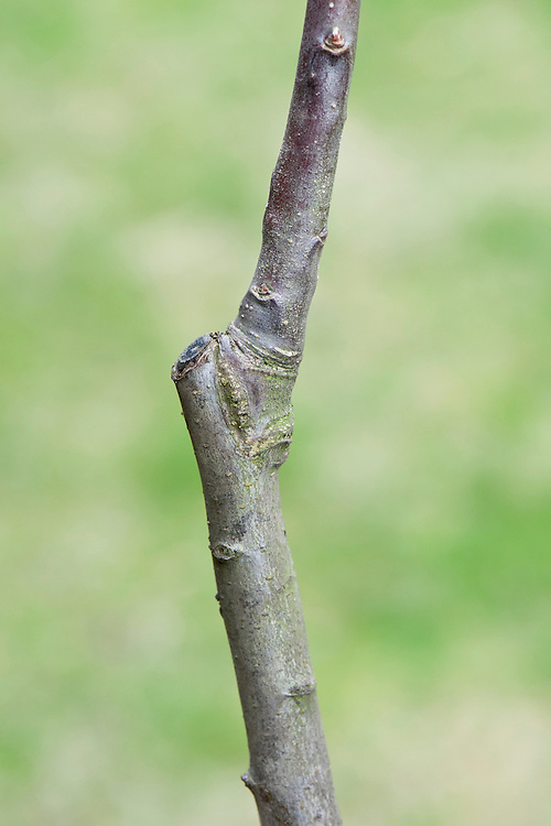 "The ""union"" is the join where the scion (bud or shoot) from one tree has been grafted on to the rootstock of another. It's visible as a knobbly joint."