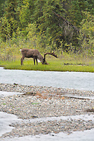 Bull Caribou along the Sanctuary river in Denali National Park, Alaska