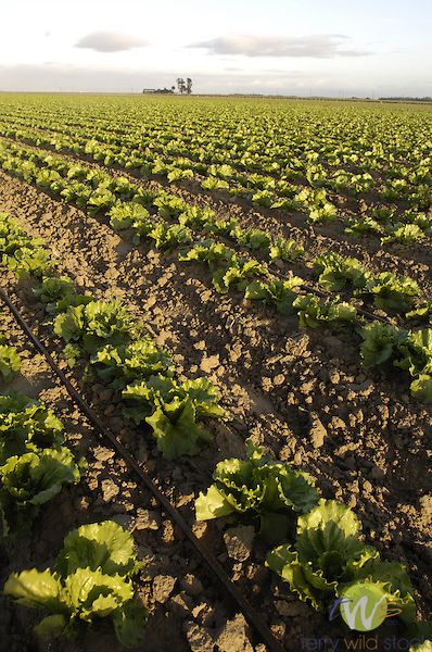 Lettuce fields, California