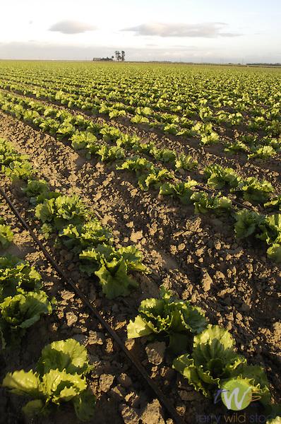 Lettuce fields, California