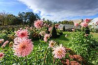 France, Indre-et-Loire (37), Montlouis-sur-Loire, jardins du château de la Bourdaisière, le potager conservatoire de la Tomate, dahlia en premier plan