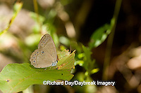 03485-001.02 Appalachian Brown (Satyrodes appalachia) Flag Pond, Clay Co. IL