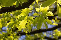 Libanon-Eiche, Libanoneiche, Quercus libani, Quercus vesca, Lebanon oak, Le chêne du Liban