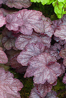 Heuchera 'Beaujolais' leaves with dew drops water rain
