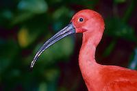 Scarlet Ibis. Florida. U.S.A. (Eudocimus ruber).