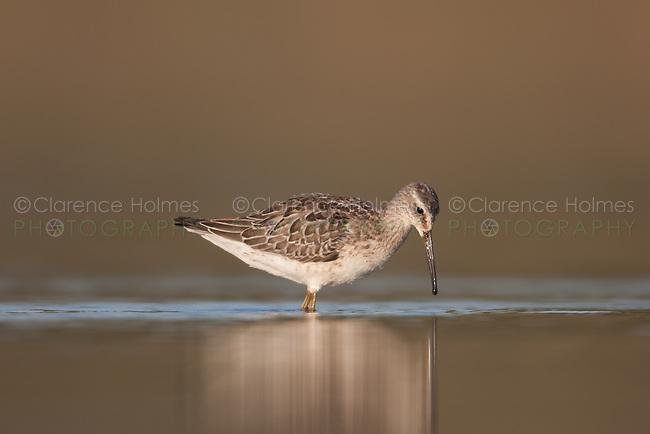 Stilt Sandpiper (Calidris himantopus), East Pond, Jamaica Bay Wildlife Refuge