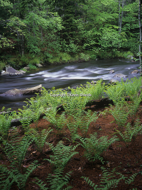 Ferns growing along the Ducktrap River in Lincolnville, Maine, USA