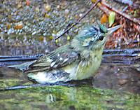 Female cerulean warbler bathing