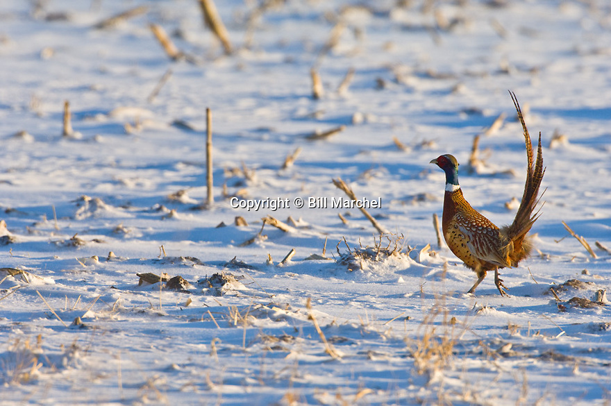 00890-036.03 Ring-necked Pheasant rooster is on a snow covered corn stubble field during winter.  Hunt, survive, color, feed.  H3L1
