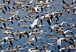 The action scene of geese taking flight at Bosque, NM.
