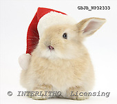 Young Sandy rabbit wearing a Father Christmas hat.