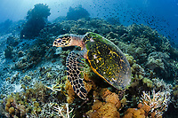 hawksbill sea turtle, Eretmochelys imbricata, resting, Raja Ampat Islands, West Papua, Indonesia, Indo-Pacific Ocean