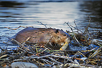 Beaver (Castor canadensis) working on dam.  Western U.S., Nov.