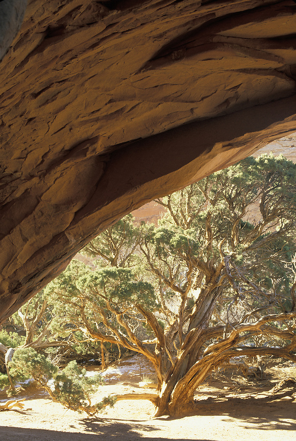 Juniper framed by Navajo Arch, Arches National Park, Utah.